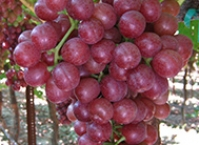 <span>TABLE</span> GRAPES